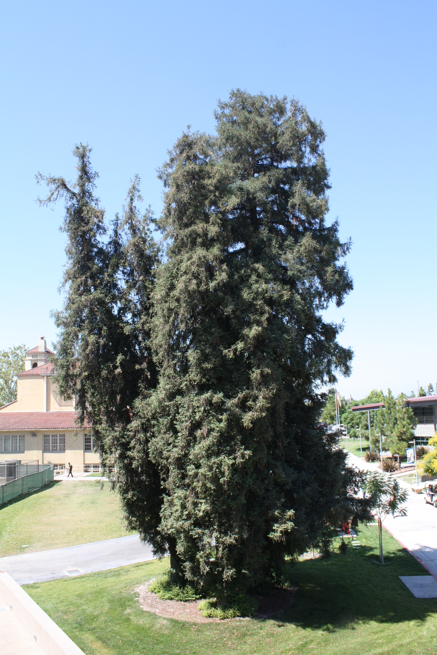 picture of giant redwood trees outside PS building